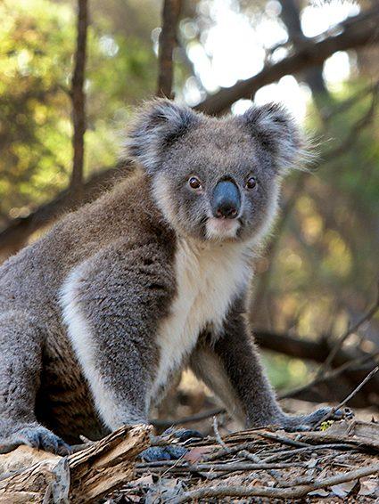 Junte-se ao Jardim Zoológico e ajude os animais afetados pelos incêndios na Austrália.